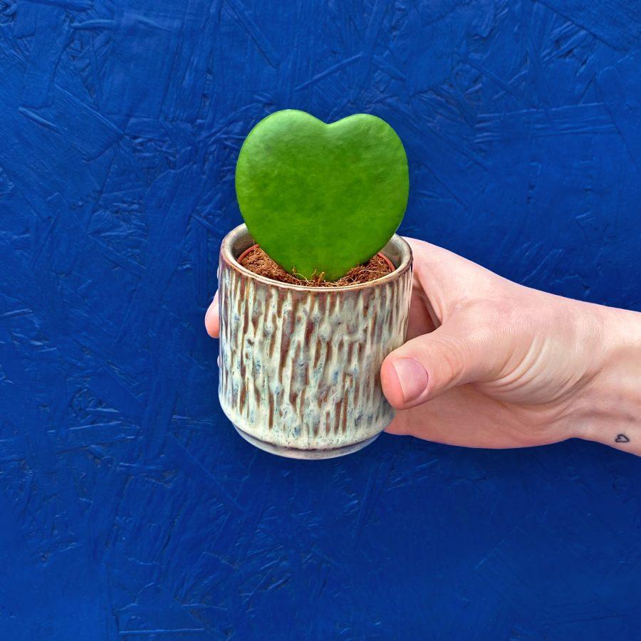 Hoya heart shaped plant